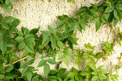 Green Climbing Plant Royalty Free Stock Photography