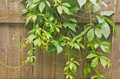 green climbing plants on old wooden fence Stock Photo