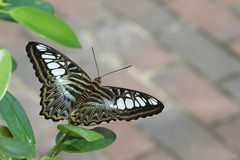 Green Clipper Butterfly Stock Photography