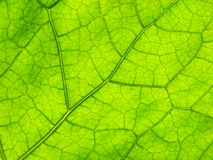 Green close-up leaf Royalty Free Stock Photography