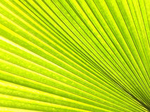 Green. Close up pattern of natural bright green leaf palm for background or copy space. Selective focus Stock Photography