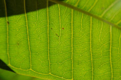 Green Close Up. A close up shot of a leaf in the sunlight Royalty Free Stock Photo