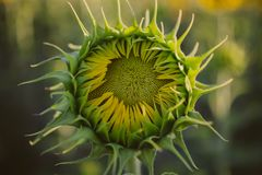 Green closed sunflower. Bud sunflower texture and background for designers. Sunflowers field background. Royalty Free Stock Photography