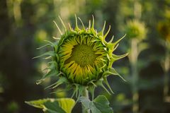 Green closed sunflower. Bud sunflower texture and background for designers. Sunflowers field background. Stock Photography