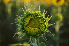 Green closed sunflower. Bud sunflower texture and background for designers. Sunflowers field background. Stock Photo
