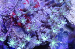 Green Clove Polyp Coral. Detail of bright green clove polyp coral underwater Royalty Free Stock Photo