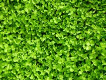 Green Clover. Background Royalty Free Stock Photo