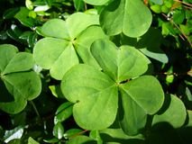 Green Clover. In the sun Royalty Free Stock Photo