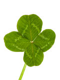 Green clover. Isolated on white royalty free stock photography