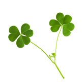 Green clover. Symbol of a St Patrick day isolated on white background Stock Photography