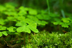 Green clover Stock Photo