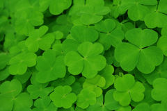 Green clover. Royalty Free Stock Photo