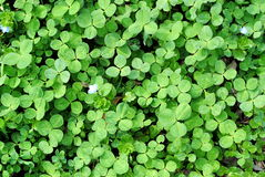 Green clover background Royalty Free Stock Images