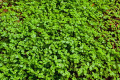 Green Clover Background Stock Images