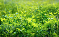 Green clover background, shallow DOF Royalty Free Stock Image