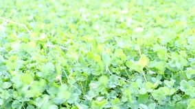 Green clover background on the wind stock footage