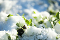 Green clover break through the snow closeup Stock Photo