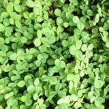 Green Clover Stock Image