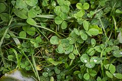 Green clover covered with drops stock photos