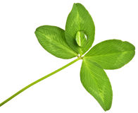 Green clover with drop Stock Photo