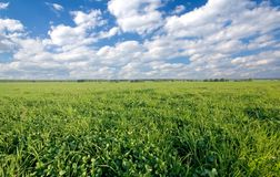 Green clover field. And cloudscape Royalty Free Stock Photos