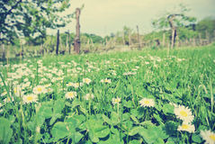 Green clover field full of white and yellow chamomile flowers; retro style Royalty Free Stock Photography