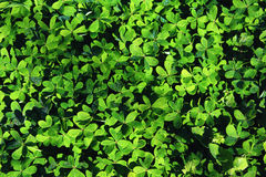 Green clover field Stock Photography