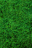 Green clover field. Lush clover in the spring royalty free stock photography