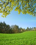 Green clover field. Royalty Free Stock Image
