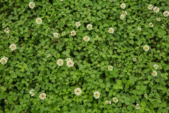 Green clover grass background Royalty Free Stock Photography