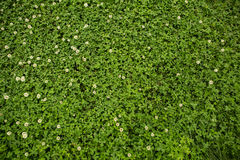 Green clover grass background Stock Image