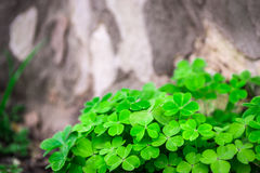 Green Clover and Grey Tree Royalty Free Stock Photography