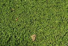 Green clover Royalty Free Stock Photos