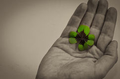 Green clover in hand Royalty Free Stock Photo