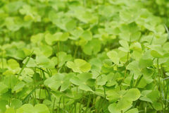 Green  Clover  leaf background Royalty Free Stock Photo