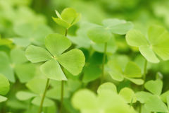 Green Clover leaf background Stock Photography
