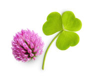 Green clover leaf and flower isolated Stock Photo