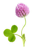 Green clover leaf and flower isolated Royalty Free Stock Photos