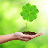 Green clover leaf Royalty Free Stock Photography