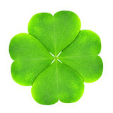 Green clover leaf. Isolated on white background Royalty Free Stock Photo