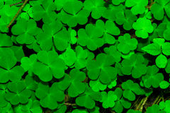 Green Clover Leafs Royalty Free Stock Image