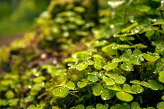 Green clover leafs in the forest Stock Photo