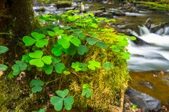 Green clover leafs in the forest Royalty Free Stock Photos