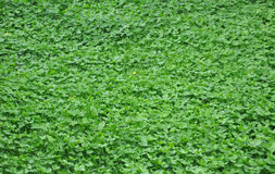 Green clover leaves background. Green spring clover leaves background royalty free stock photos