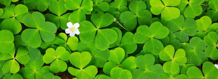 Green clover leaves background . Royalty Free Stock Image