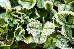 Green clover leaves covered with ice Stock Image