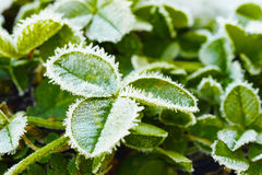Green clover leaves covered with ice Stock Photos