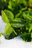 Green clover leaves covered with ice Royalty Free Stock Images