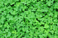 Green clover leaves with dew royalty free stock images