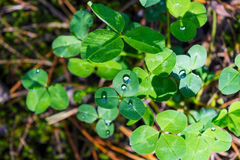 Green clover leaves with dew drops Royalty Free Stock Photo